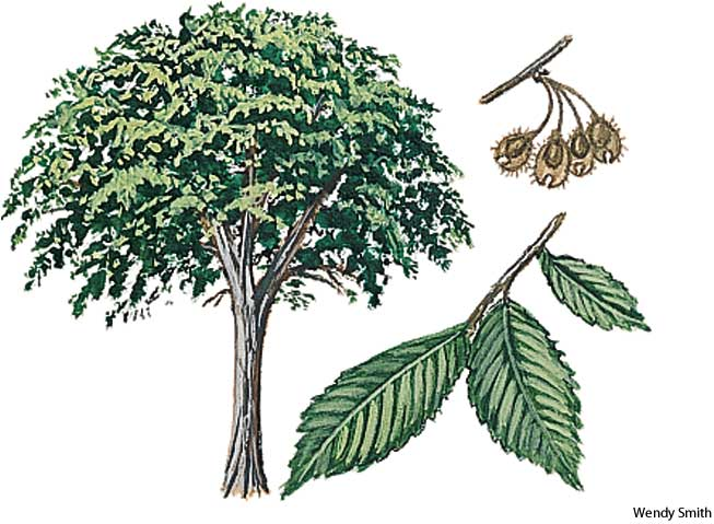 american heritage dictionary entry american elm