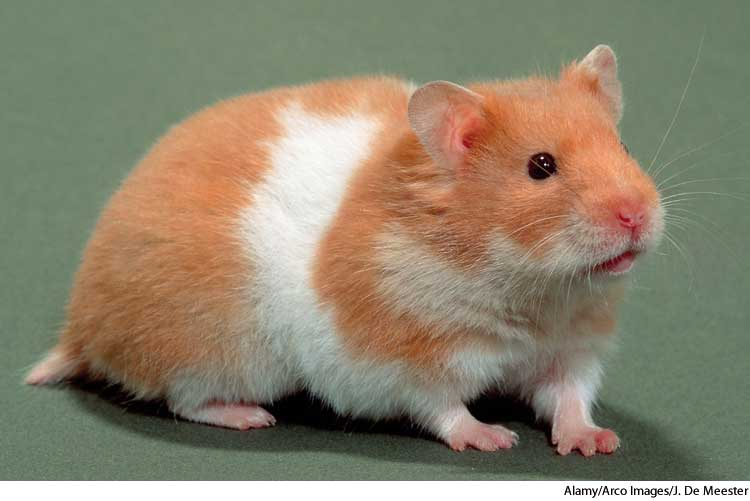 American Heritage Dictionary Entry Hamster
